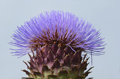 Purple thistle  in blue sky Stock Photos