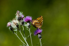 Purple thistle and butterfly Stock Photo
