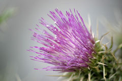 Purple Thistle Flower 1. Close up of this wonderful purple colored wild Thistle flower. Shallow depth of field Royalty Free Stock Photo