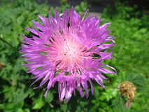 Purple thistle flower. Close-up at summer Royalty Free Stock Photos