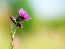 Purple thistle flower Royalty Free Stock Image