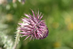 Purple thistle flower. A purple thistle wild flower with thorns Stock Photos