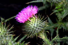Purple thistle flower Royalty Free Stock Images