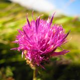 Purple thistle flower closeup. Closeup of lone purple thistle flower, symbol of strength, healing, and solitude Royalty Free Stock Photography