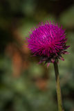 Purple thistle flower Stock Photo