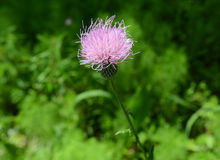 Purple Thistle Flower in green field Royalty Free Stock Photo