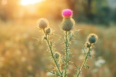 Free Purple Thistle Flower In The Rays Of The Rising Sun Royalty Free Stock Photos - 194948058