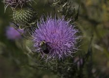 Purple thistle flower. In meadow with blurred background Royalty Free Stock Photography