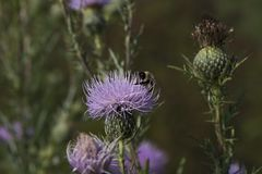 Purple thistle flower. In meadow with blurred background Stock Photos