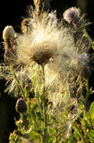 Purple thistle flower with sunlit fluffy seedhead Stock Photography
