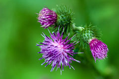 Purple thistle flowers Royalty Free Stock Photos