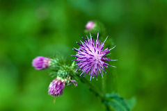 Purple thistle flowers Stock Photography