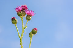Purple thistle flowers, blue sky in background Stock Photography