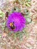 Purple thistle with flying insect stock photos