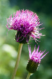 Purple thistle on green background Royalty Free Stock Images