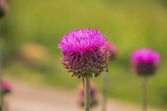 Purple thistle on green background. Purple thistle on blurred green background Royalty Free Stock Images