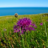 Purple thistle in green field with blue sky and sea Stock Photos