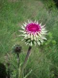 Purple Thistle Stock Photography