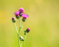 Purple thistle herbal flower Royalty Free Stock Image