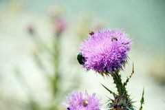 Purple thistle with insects on top of it stock photos