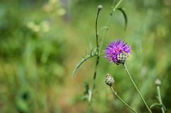 Purple thistle Royalty Free Stock Photography