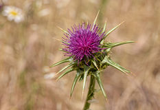Purple thistle at noon in summer Stock Images