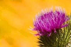 Purple thistle Stock Image