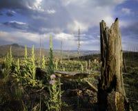 Purple Thistle, Stump & Tiny Rainbow. The burn area on the Wigwam Trail near Cheesman Lake in Colorado Royalty Free Stock Image