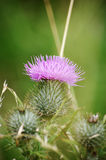 Purple thistle surrounded by grass Royalty Free Stock Image