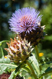 Purple thistle Royalty Free Stock Images
