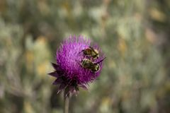 Purple Thistle Closeup with Two Bumblebees. Purple Thistle in Utah Mountains with Two Bumblebees Showing a Closeup of the Flower Royalty Free Stock Photo