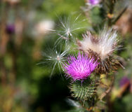Purple Thistle Weeds Stock Images