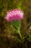 Purple Thistle Wildflower Stock Photos