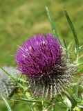 Purple thistle Royalty Free Stock Photos