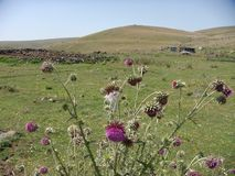 Purple thistles and a grass field that extends to a small mountain. Mount Ararat. Armenia. Purple thistles. Grass field. Extended field. Thistles in first plan Stock Images