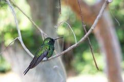 Purple-throated Carib hummingbird Stock Photo