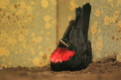 Purple-throated fruitcrow Royalty Free Stock Image