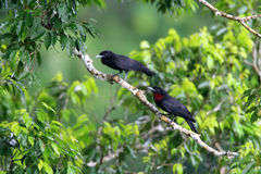 Purple-throated Fruitcrow Stock Images