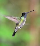 Purple throated mountain gem hummingbird Stock Photo