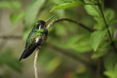 Purple-throated Mountain Gem Hummingbird Royalty Free Stock Images