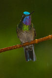 Purple-throated Mountain-Gem. Perched, metallic colors, Costa Rica Stock Photography
