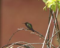 Purple-throated Mountain-gem Royalty Free Stock Photo