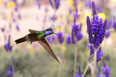 Purple-throated mountaingem in flight with lavender flowers Royalty Free Stock Images