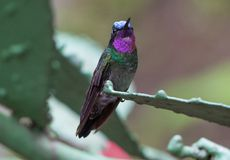 Purple-throated Mountaingem hummingbird from Costa Rica stock photography