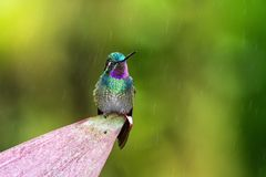 Purple-throated Mountaingem Lampornis calolaemus sitting on flower, bird from mountain tropical forest, Costa Rica. Purple-throated Mountaingem Lampornis royalty free stock image