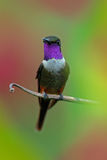 Purple-throated Woodstar, Calliphlox mitchellii, Little Hummingbird with coloured collar in the green and red flower, bird in the Stock Photos