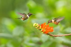Purple-throated woodstar hovering next to orange flower,tropical forest, Colombia, two birds sucking nectar from blossom in garden. Beautiful hummingbird with royalty free stock images