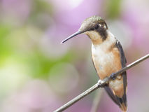Purple-throated Woodstar Hummingbird Stock Photo