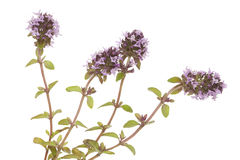 Purple thyme Stock Photo