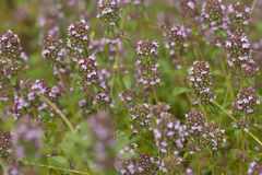 Purple thyme Royalty Free Stock Image